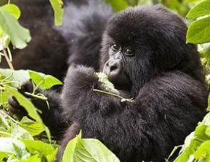 gorilla in mist