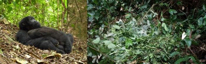 gorilla-nests-uganda