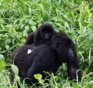 gorilla safaris and tours - uganda