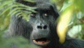 gorilla smiles