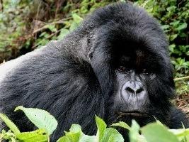 gorilla tracking permit