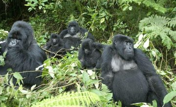 6 days gorilla tracking and wildlife safari uganda tour