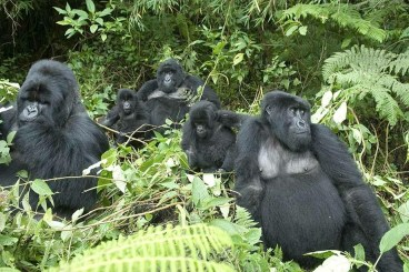 gorilla-tracking-safaris-uganda-gorilla-safaris-gorilla-trekking-safaris-in-uganda