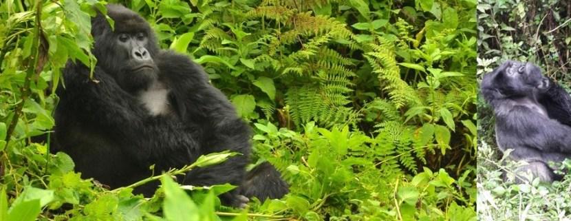 gorilla -trekking-in-volcanoes-rwanda-safari