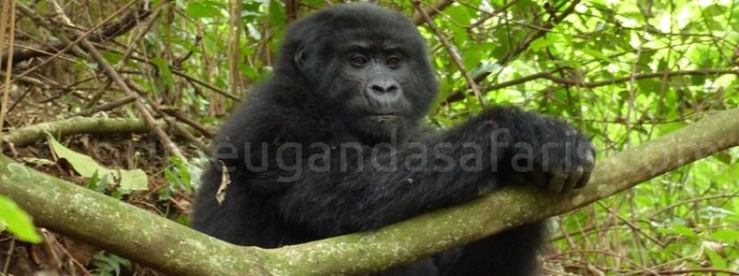gorilla-trekking-virunga