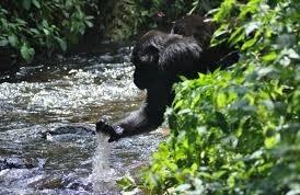 gorilla drinking water