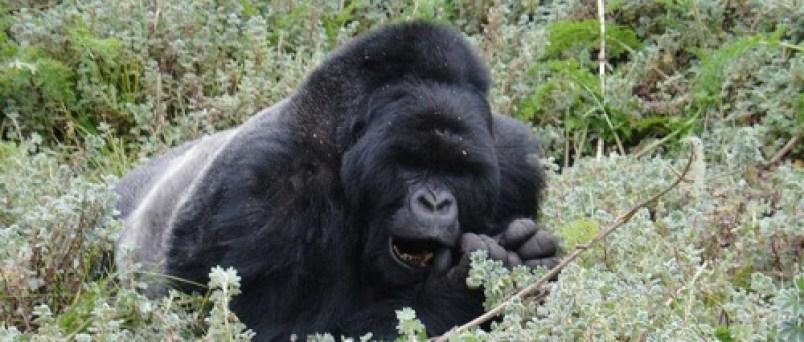 gorillas in Bwindi