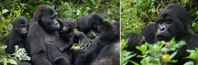 gorillas-resting-bwindi uganda safari