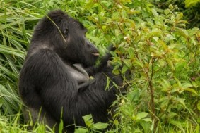 mountain gorillas in Mgahinga NP