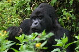 gorila in Bwindi forest np