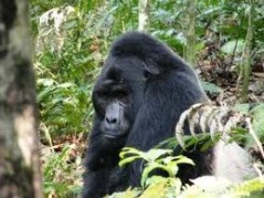 silver back gorillas
