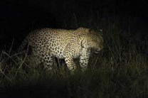 leopard -night game drives in uganda