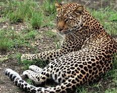 leopard- wildlife safaris