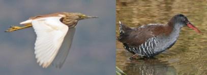 mabamba-birds