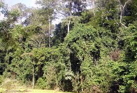 mabira  forest  reserve - uganda