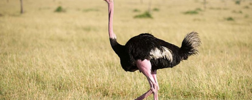 ostrich-in-kidepo-ugandasafari