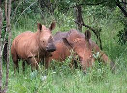 rhinos in ziwa rhino sanctuary uganda