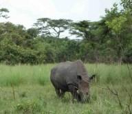 rhonos in uganda