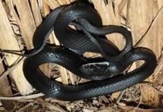 snakes-safari visits in uganda