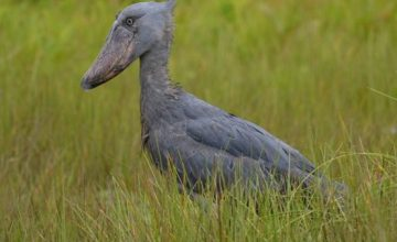 1 Day Mabamba Swamp Birding Excursion uganda tour