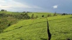 tea plantations in fort portal