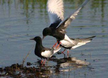 white winged tern , uganda birding safaris