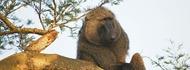 wildlife-uganda-safaris