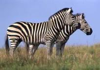 Serengeti National Park zebra family