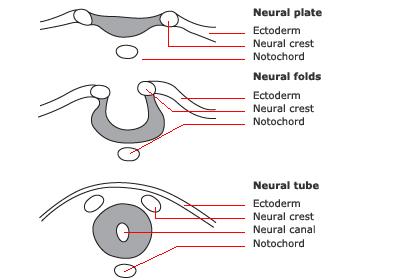 PS/ Neurulation