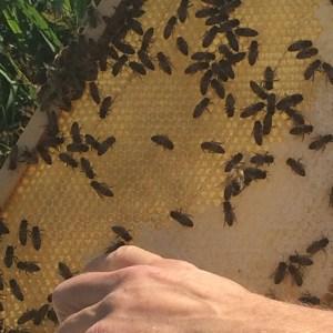 Good news! honeybees decline reversed