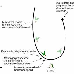 Hummingbird Diagram Of Color Wiring Fender 5 Way Switch Hummingbirds Dive To Dazzle Females In A Highly Synchronized Display Illustration The Flight Pattern And Courtship Rituals Male Dives Toward Female