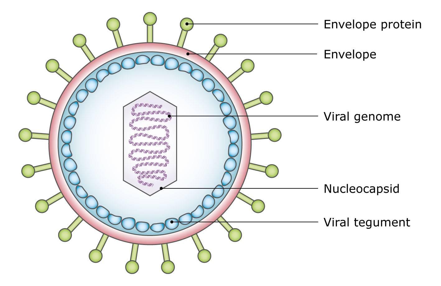 medium resolution of diagram of a virus particle