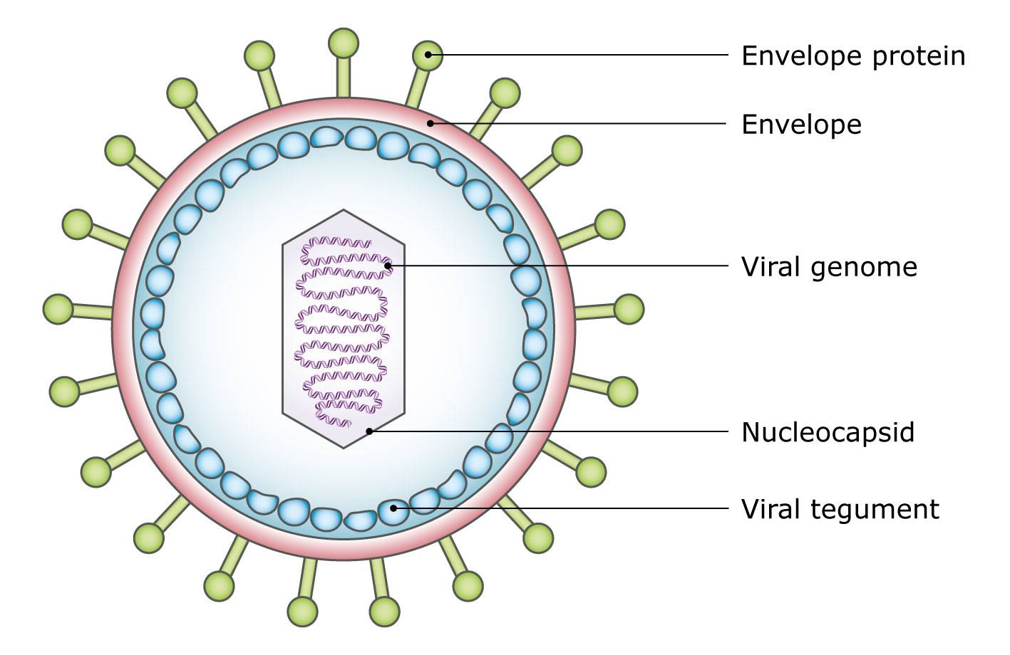 hight resolution of diagram of a virus particle