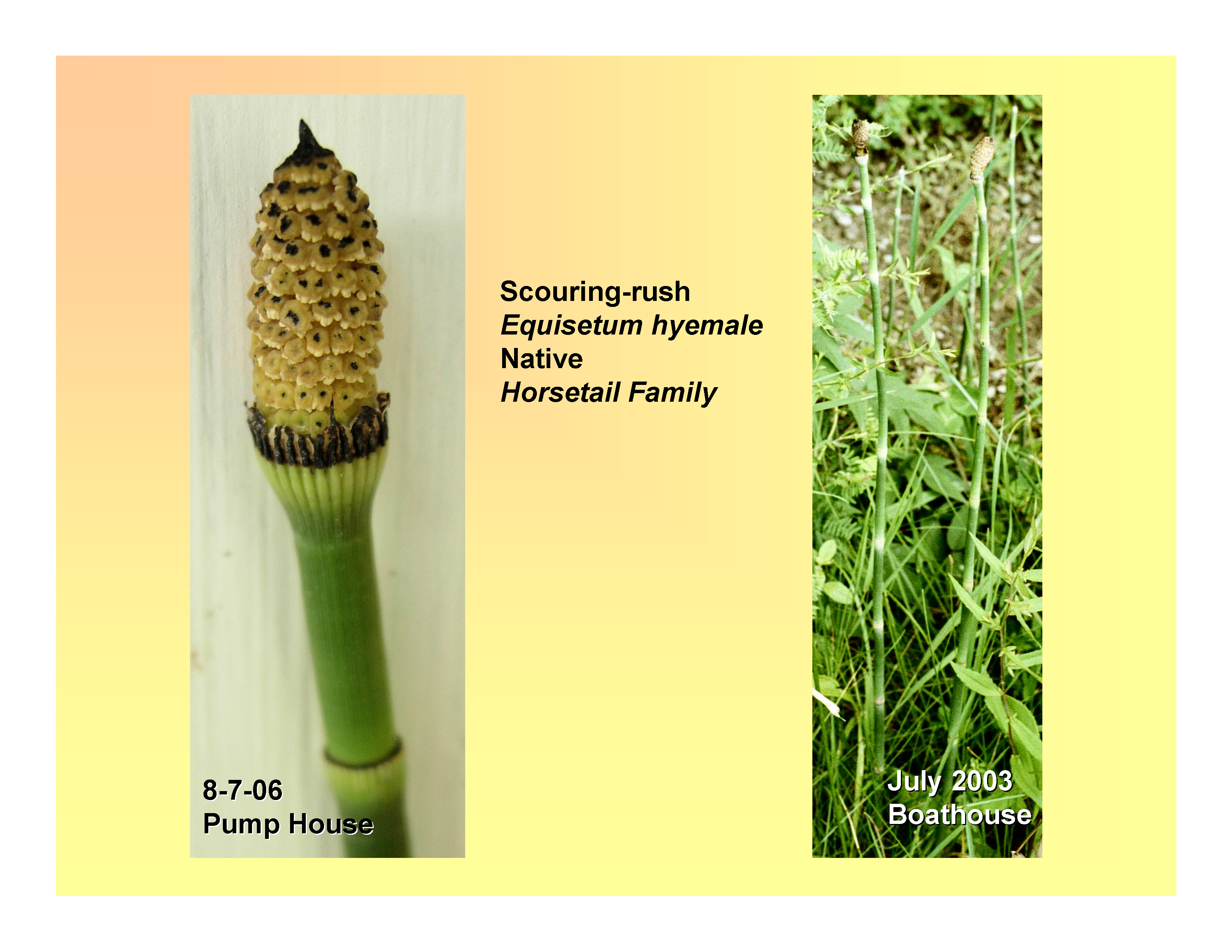 horsetail plant diagram smeg cooker wiring orchid root poetry elsavadorla