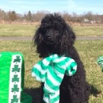 Auggie on St Patrick's Day