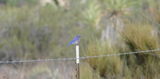 A bluebird perched on a barbed wire fence