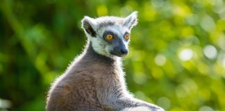 Photograph of a lemur turning toward the camera over its puffy tail