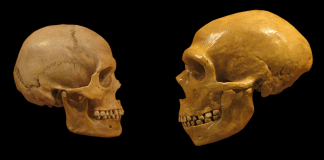 A human and neanderthal skull facing each other on a black background