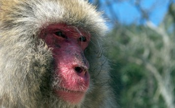 photograph of macaque's face in profile