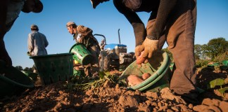 photograph of migrant workers harvesting sweet potatoes