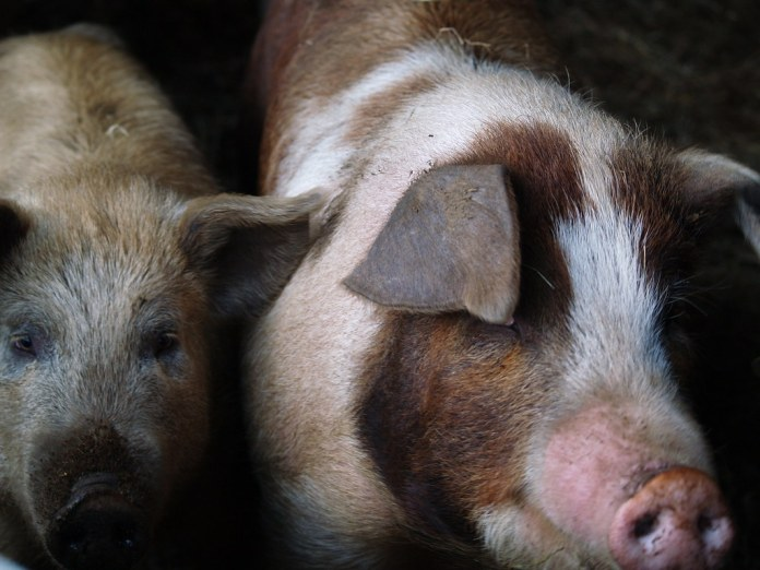 close-up photograph of two pigs in dark room
