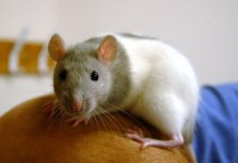 photograph of lab rat perched on human's arm
