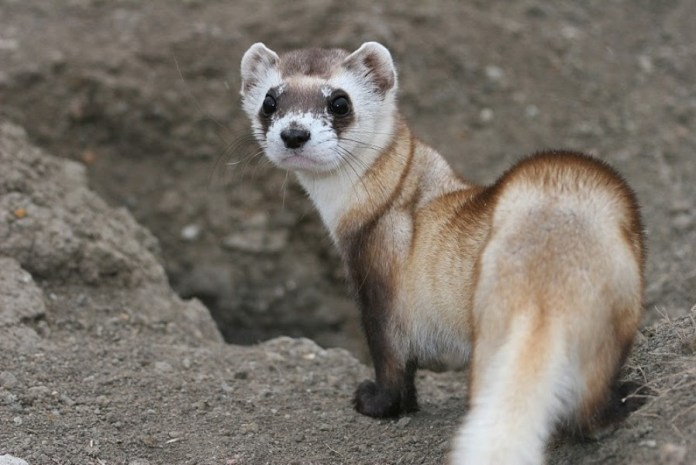close-up photograph of black-footed ferret