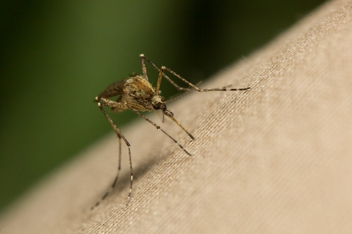 closeup photograph of mosquito