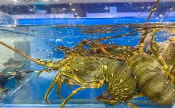 photograph of lobsters in water tank at market