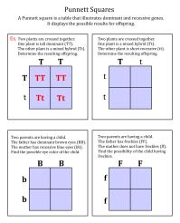 5 Best Images of Printable Punnett Square Worksheets