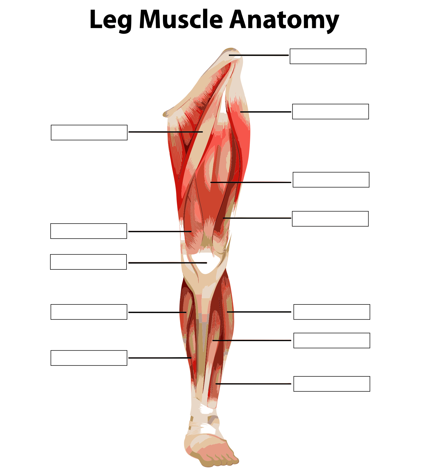 6 Best Printable Worksheets Muscle Anatomy