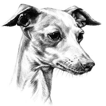 Italian Greyhound Business Cards Print By Townsend