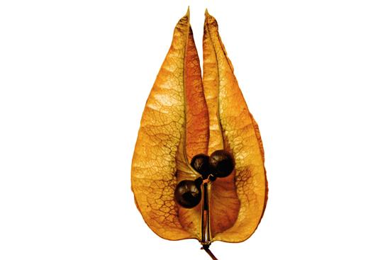 Thumbnail for Botany Blueprint: The Golden Rain Tree