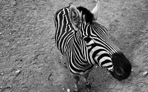 Thumbnail for How the Zebra Got Its Stripes
